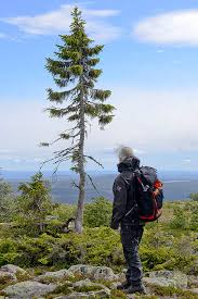 Why Old Tjikko is not the oldest tree in Europe.